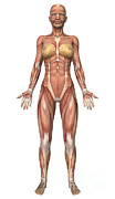 Muscular Digital Art Posters - Female Muscular System, Front View Poster by Stocktrek Images