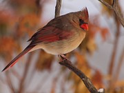 Female Northern Cardinal Framed Prints - Female Northern Cardinal Framed Print by Frank Piercy