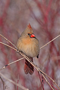 Jim Nelson Framed Prints - Female Northern Cardinal Framed Print by Jim Nelson
