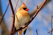 Cardinals. Wildlife. Nature. Photography Photos - Female Northern Cardinal by Michael Allen