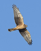 Bob Stevens - Female Northern Harrier