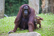 JPLDesigns - Female Orangutan with...