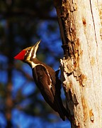 Pileated Woodpeckers Photos - Female Pileated Woodpecker by Billy  Griffis Jr