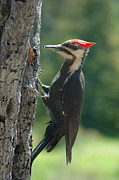 Female Pileated Woodpecker Print by Sandra Updyke