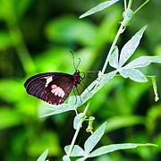 Vine Leaves Posters - Female Pink Cattleheart butterfly Poster by Jane Rix