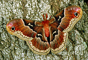 Millard H Sharp - Female Promethea Moth