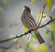 Brian Wallace - Female House Finch