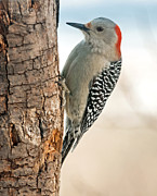 Clinging Posters - Female Red Bellied Woodpecker Poster by Lara Ellis