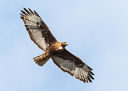 Morph Photo Posters - Female Red-tailed hawk Poster by Carl Jackson
