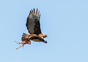 Morph Photo Posters - Female Red-Tailed Hawk in flight Poster by Carl Jackson