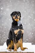Winter Storm Art - Female Rottweiler Sitting On Top Of A by Jim Craigmyle