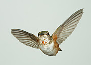 Gregory Scott - Female Rufous Hummingbird with Sequins