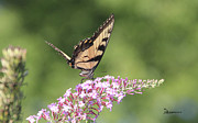 Female Tiger Butterly-1-featured In Macro-comfortable Art And Newbies Groups Print by EricaMaxine  Price