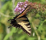 Tiger Swallowtail Digital Art Posters - Female Tiger Swallowtail-2 Poster by EricaMaxine  Price