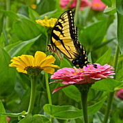 Pink Zinnias Framed Prints - Female Tiger Swallowtail Butterfly With Pink And Yellow Zinnias Framed Print by Byron Varvarigos