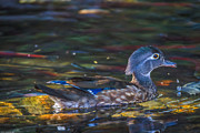 Mitch Shindelbower - Female Wood Duck 2