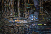 Mitch Shindelbower - Female Wood Duck