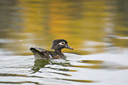 Nikon Pyrography Metal Prints - Female wood duck Metal Print by Tom Spencer