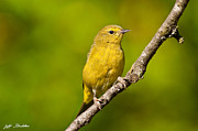 Jeff Goulden - Female Yellow Warbler