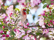 House Finch Framed Prints - Feminine Viewpoint Framed Print by Betty LaRue