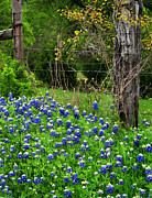 Bluebonnet Prints - Fenced In Bluebonnets Print by David and Carol Kelly