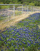 Bluebonnet Prints - Fenceline Print by David and Carol Kelly