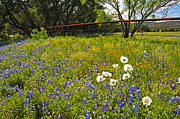 Texas Art - Fenceline Wildflowers  - Fine Art by Lynn Bauer by Lynn Bauer