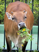 Kathy Daxon - Feral Cow Eating...