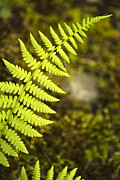 Lime Green Posters - Fern Poster by Christina Rollo
