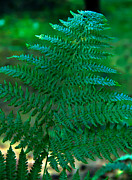 Frond Prints - Fern Frond Print by Robert Bales