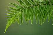 Droplet Prints - Fern Frond With Drip Tips Print by Pete Oxford