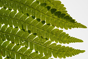 Drop Posters - Fern Fronds Poster by Steve Gadomski