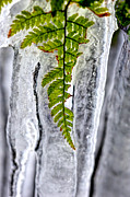 Fern In Ice Print by Dan Friend