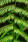 Frond Prints - Fern Leaf Print by Jess Kraft
