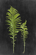 Ostrich Fern Prints - Fern Series One Print by Di Kerpan