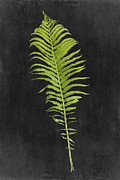 Ostrich Fern Posters - Fern Series Two Poster by Di Kerpan