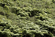 Bush Art - Fern trees by Les Cunliffe