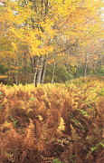 Autumn Foliage Photos - Ferns and Maple Fall Foliage by John Burk