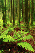 Ferns In The Forest Print by Gaspar Avila