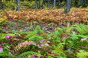 Woodland Scenes Photo Posters - Ferns of Fall Poster by Bill  Wakeley