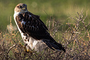 Birders Framed Prints - Ferruginous Hawk Framed Print by John Daly