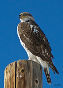Stephen  Johnson - Ferruginous Hawk on Pole