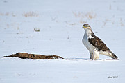 500mm Prints - Ferruginous Hawk Standing in Snow Print by Stephen  Johnson