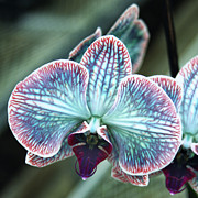 Colored Flowers Prints - FESTIVE Orchid Print by William Dey