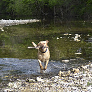 Water Retrieve Framed Prints - Fetch Framed Print by Teresa Dixon