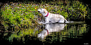Dog In Lake Prints - Fetching the Stick Print by Olahs Photography