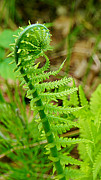 Ostrich Fern Prints - Fiddlehead of the Ostrich Fern on Plum Island Print by Carol Toepke