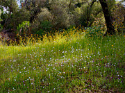 Fiddleneck And Popcorn Flowers In Park Sierra-ca Print by Ruth Hager