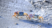 Fiddler Crab Framed Prints - Fiddler Crab Framed Print by Agrofilms Photography