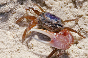 Fiddler Crab Framed Prints - Fiddler Crab Framed Print by Millard H. Sharp